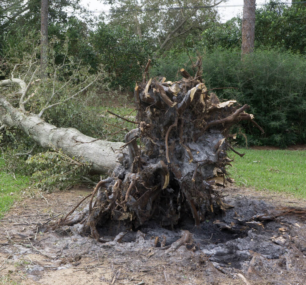 damaged tree roots